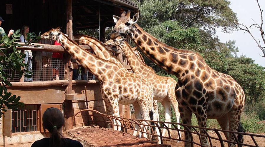 girraffe_centre-kenya-safari-daytour